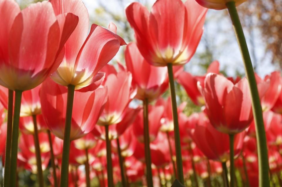 Hollande parc floral de Keukenhof